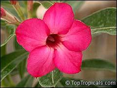адениум с малиновыми цветками
