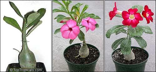 сеянец адениума с каудексом; цветут молодые адениумы