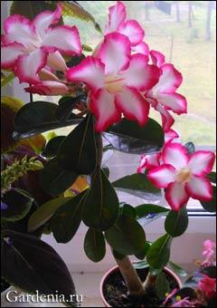 Прекрасное цветение подаренного адениума