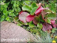 Бадан с краснеющими листьями