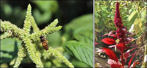 Амарант – красивое и полезное растение