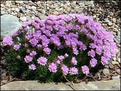 Растения для альпинария: армерия