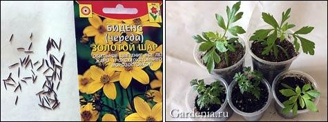 Биденс, череда в медицине и в саду