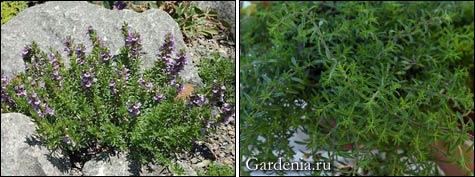 Сатурея, чабер многолетний в саду и в доме