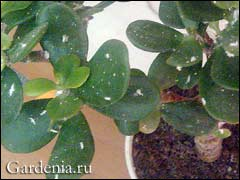 мучнистый червец фото на комнатных растениях