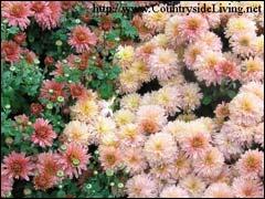 кустовые хризантемы в саду Британского королевского садоводческого сообщества в Уизли