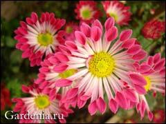 Каталог букетов с хризантемами, фото. Купить букет 30