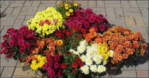 Сорта выбирайте районированные д. Советы по выращиванию хризантем.