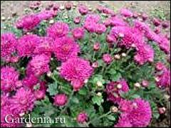 хризантема бордюрная малиновая