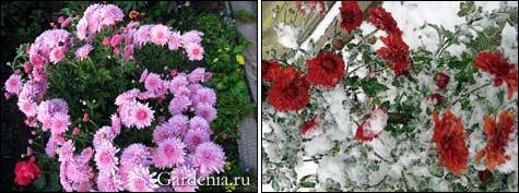 Как размножить хризантему черенками осенью