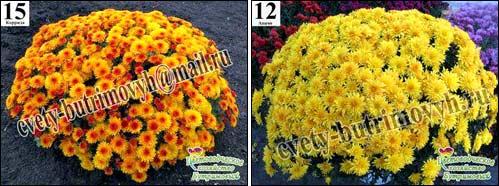 Хризантема мультифлора фото