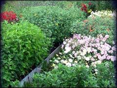 Хризантемы: опыт выращивания на Северо-Западе