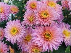 От чего зависят сроки цветения хризантем