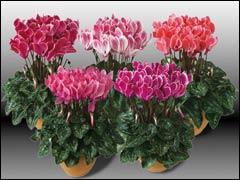 Цикламен персидский в комнатном цветоводстве
