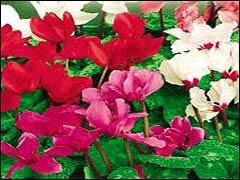 Выращивание из семян цикламена персидского