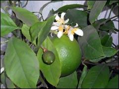 Тропический сад на окошке: цитрусовые