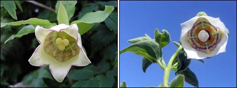 Кодонопсис, колокольник в саду