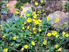 Колюрия, «гвоздичный корешок» в саду, в кулинарии и в медицине