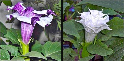 Датура, дурман – душистый красавец в саду