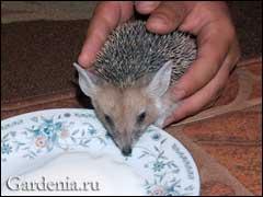 ушастый ёж, фото Ирины Ершовой (Казахстан)