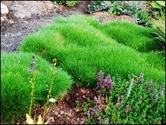 Овсяница Готье – изумрудный ковер в саду