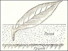 листовой черенок флокса метельчатого посажен на окоренение
