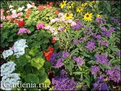 гелиотроп в саду