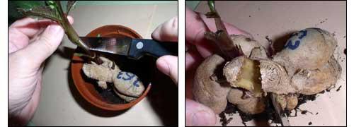 срезка черенка и деление клубня георгина