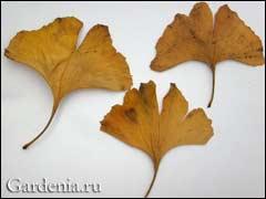 высушенные листья гинкго