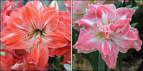 Амариллис – божественный цветок