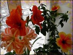 Гиппеаструм: цветение в доме и в саду
