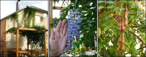 глициния двухлетка; соцветие глицинии; плоды глицинии