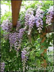обильное цветение глицинии Блю Мун