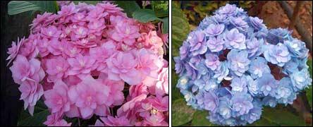 гортензия Expression розовая и голубая