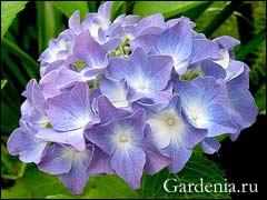 цветение крупнолистной гортензии