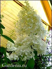 соцветие белой гортензии метельчатой