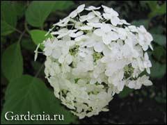 насіння гортензії