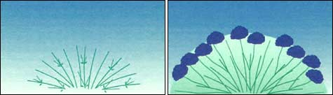 обрезка гортензии: Шаг5_1 + Шаг5_2