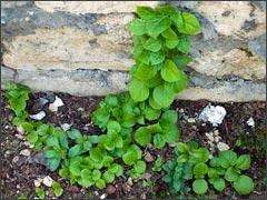 Гортензия-скалолазка в саду