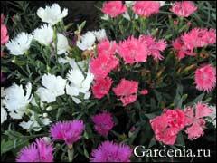 Гвоздика китайская: выращивание из семян 2