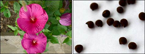 Гибискусы в саду: опыт выращивания и размножения
