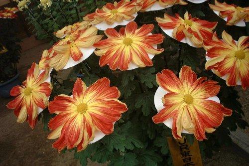 Я где -то прочла, что хризантемы цветы глубокой печали.  По итальянской легенде, хризантемы появились из бумажных...