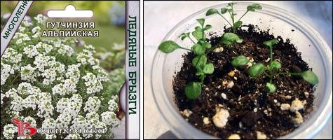 Почвопокровные растения в альпинарии: гутчинзия, двусемянник