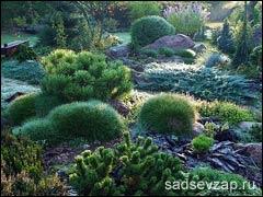 Миниатюрные хвойные растения в саду