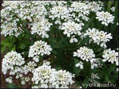 Иберисы – цветущие облака под ногами