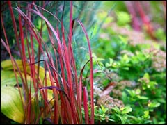 Императа «Ред Барон»: выращивание в средней полосе