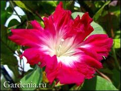 цветок махровой ипомеи