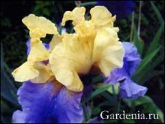 квітка ірису