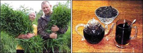 Как и где сажать чай 160