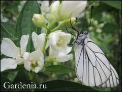 цветение жасмина садового